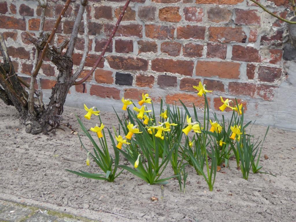 """Die herbstlichen Pflanzaktionen der LandFrauen zeigen """"Blüten"""". Überall an den Straßen, aber vor allem an der evangelischen Kirche erfreuen die blühenden Narzissen unsere Mitbürger, als ein Zeichen des kommenden Frühlings."""